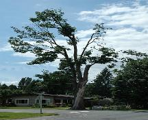 Trattle Memorial Maple Tree; Township of Langley, 2006