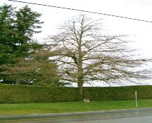 View of Royal Oak Tree, 2004.; City of Surrey, 2004.